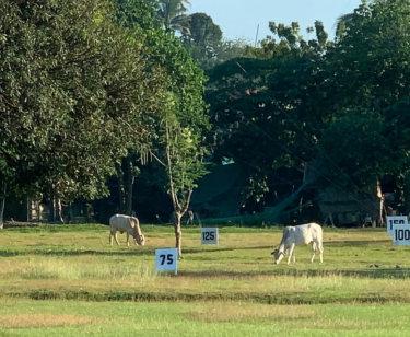 牛がいるダバオのドライビングレンジ
